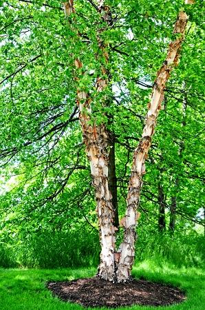 river birch tree 3 pack