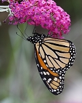 Butterfly Bush (Mixed Colors)