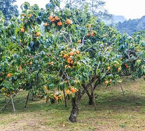 American persimmon tree for Cachi persimon