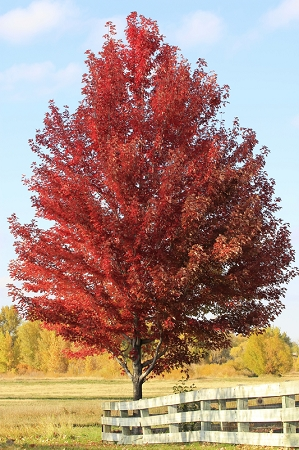Red Maple Tree Pack Of 2