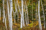 White Birch - 3 Pack