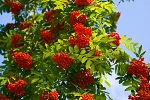 European Mountain Ash Tree
