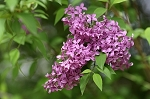 Old Fashion Lilac Bush
