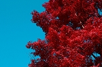 Red Leaf Japanese Maple Tree