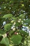 Red Mulberry Tree