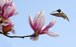 Tulip Tree - 2 Pack